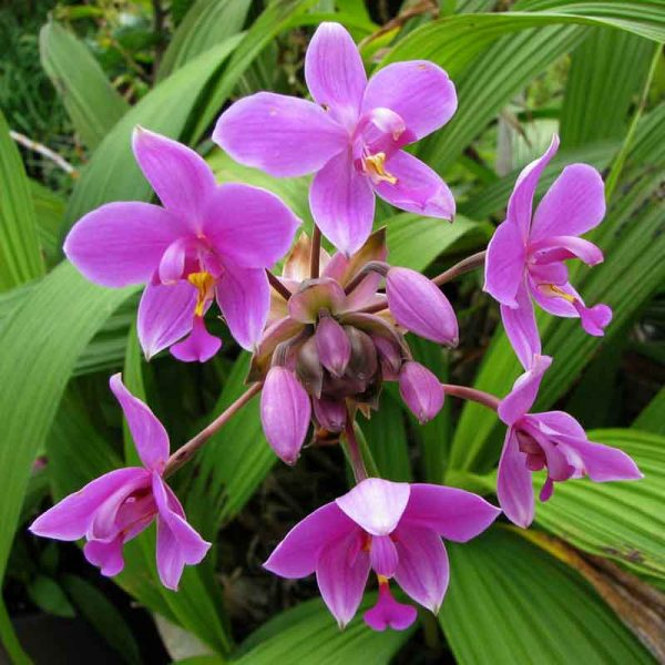 Ground-Orchid,-Spathoglottis-Plicata-(Purple)—Plant-3