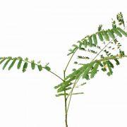 Gulmohar,-Delonix-Regia—Plant-1