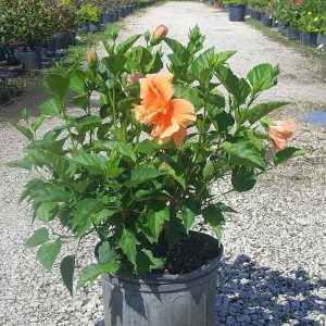 Hibiscus-(Peach-Double) Plant-1