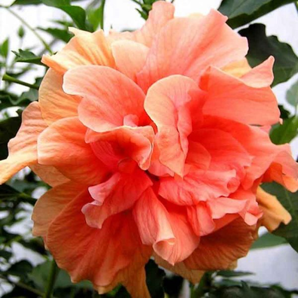 Hibiscus-(Peach-Double)—Plant-2