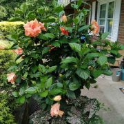 Hibiscus-(Peach-Double)—Plant-3