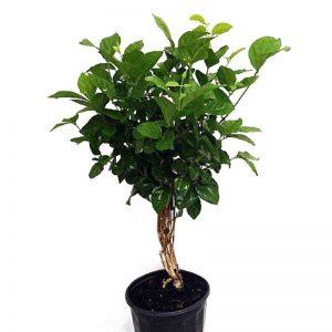 Jasminum-sambac, Mogra, Arabian-Jasmine Plant-1