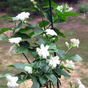 Jasminum-sambac, Mogra, Arabian-Jasmine Plant-2