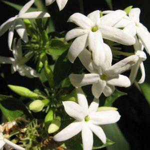 Juhi, Jasminum-Auriculatum Plant-2