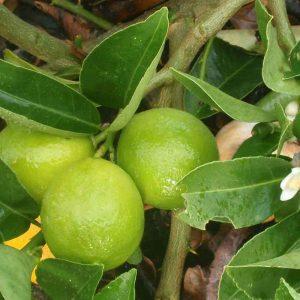 Kagzi-Nimboo, Kagzi-Lemon Plant-1