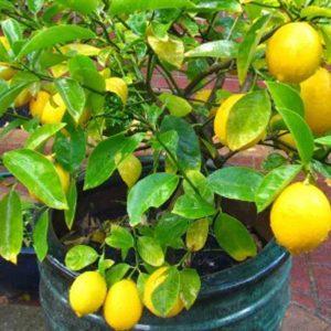 Kagzi-Nimboo, Kagzi-Lemon Plant-2