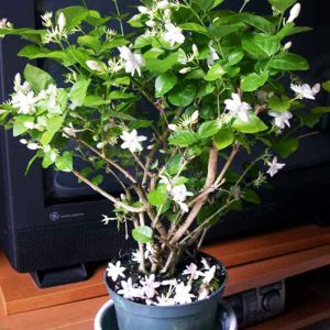 Kunda, Downy-Jasmine Plant-1