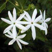 Kunda,-Downy-Jasmine—Plant-3