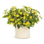 Lantana (Yellow) Plant-1