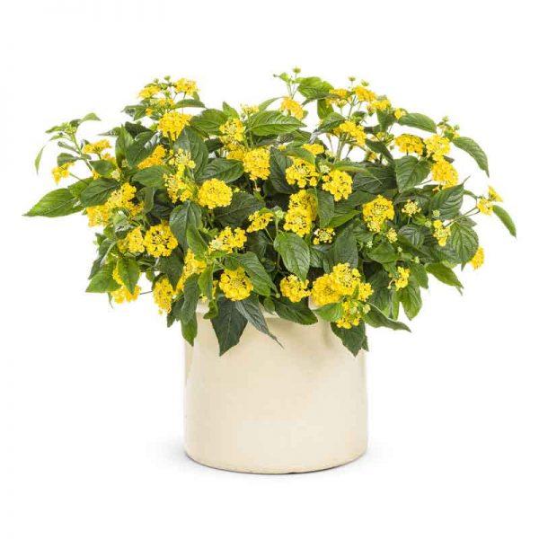 Lantana-(Yellow)—Plant-1