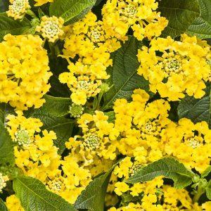 Lantana (Yellow) Plant-2