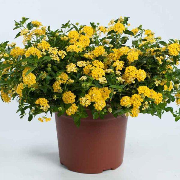 Lantana-(Yellow)—Plant-3
