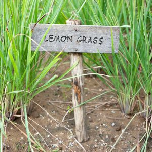 Lemon-grass-3