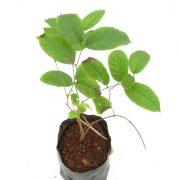 Madhumalti-Dwarf, Rangoon-Creeper Plant-2
