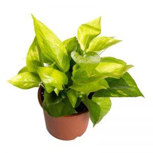 Money-Plant-Golden Plant-1
