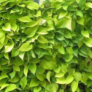 Money-Plant-Golden Plant-2