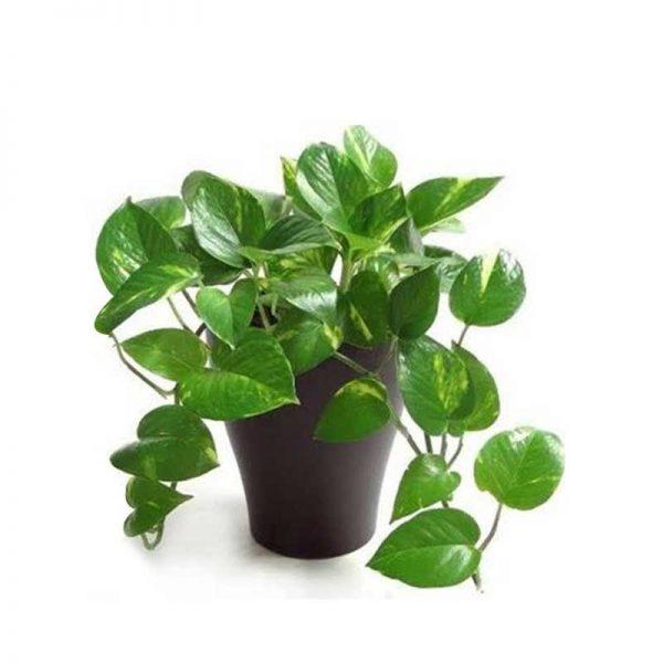 Money-plant-1