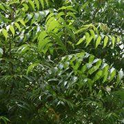 Neem-Tree—Plant-2