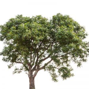 Neem-Tree Plant-3