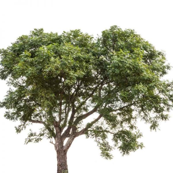 Neem-Tree—Plant-3