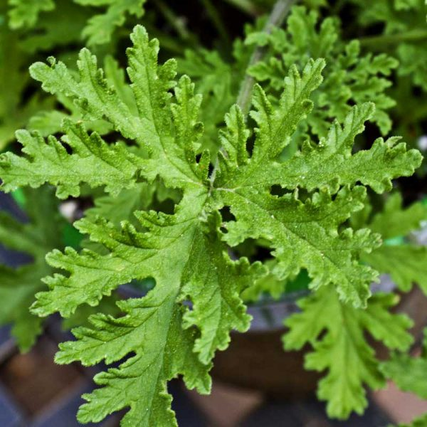 Odomas-plant-1