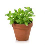 Oregano Plant-1