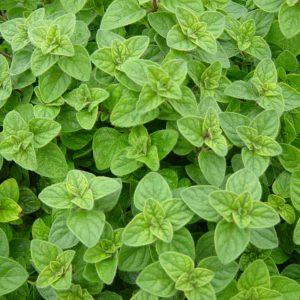 Oregano Plant-2