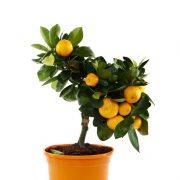 Ornamental-Orange-(Green-Leaves)–Plant-1