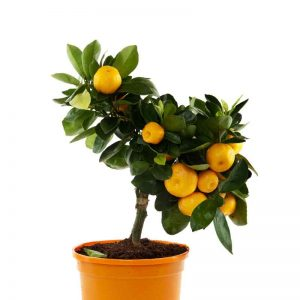 Ornamental-Orange (Green-Leaves) Plant-1