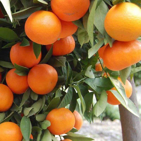 Ornamental-Orange-(Green-Leaves)-Plant-2