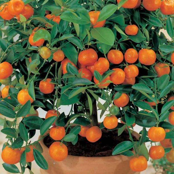 Ornamental-Orange-(Green-Leaves)-Plant-3