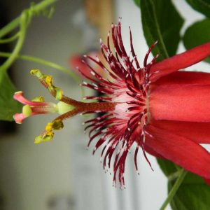 Passiflora-Sherry (Red) Plant-1