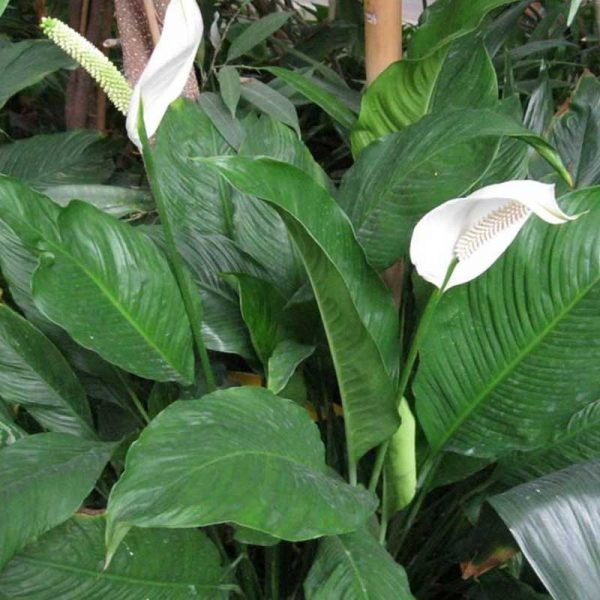 Peace-lily,spathiphyllum-2