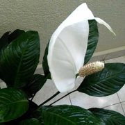 Peace-lily,spathiphyllum-3