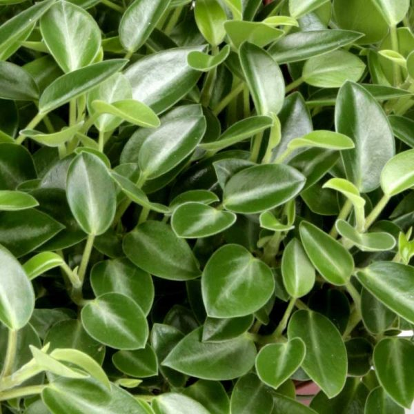 Peperomia-Orba–Plant-2