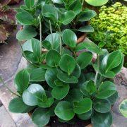 Peperomia-Orba–Plant-3