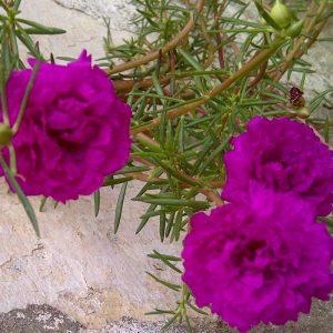 Portulaca, 9-O-Clock-(Pink) Plant-1