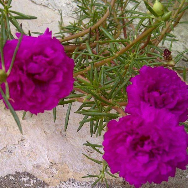 Portulaca,-9-O-Clock-(Pink)—Plant-1