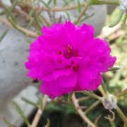 Portulaca,-9-O-Clock-(Pink)—Plant-2