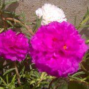 Portulaca,-9-O-Clock-(Pink)—Plant-3