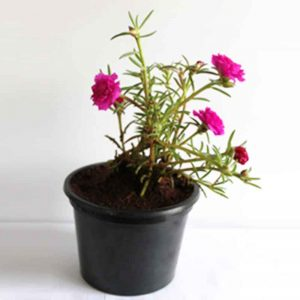Portulaca, 9-O-Clock-(Red) Plant-1