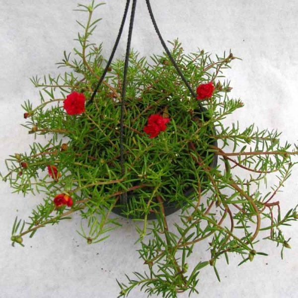 Portulaca,-9-O-Clock-(Red)—Plant-2