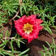 Portulaca,-9-O-Clock-(Red)—Plant-3