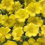 Portulaca,-9-O-Clock-(Yellow)—Plant-1