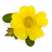 Portulaca,-9-O-Clock-(Yellow)—Plant-2