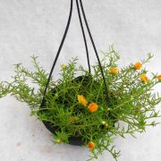 Portulaca,-9-O-Clock-(Yellow)—Plant-3