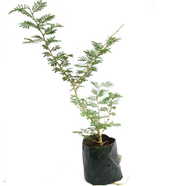 Prosopis-Cineraria,-Shami,-Sami—Plant-1