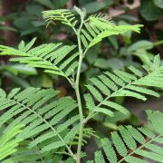 Prosopis-Cineraria,-Shami,-Sami—Plant-2