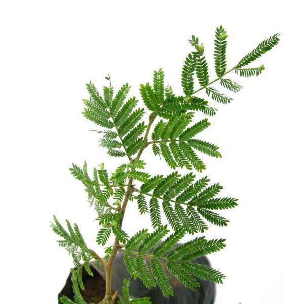 Prosopis-Cineraria,-Shami,-Sami—Plant-3
