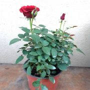 Rose (Maroon) Plant